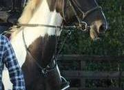 17hh Safe Irish Riding Club/All-Rounder for sale