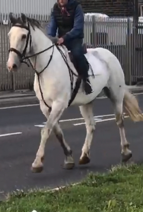 Registered  Irish Draught Gelding