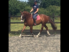 Stunning all rounder/RC/dressage horse