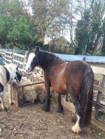 Cob mare with 3 month colt at foot