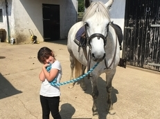 147cm Grey Connemara Mare for Sale