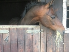 13.3h Bay Arab X Fell Show Pony. 10yr Old Gelding