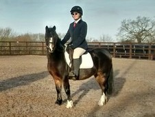 Welsh Sec A bay gelding 7yrs