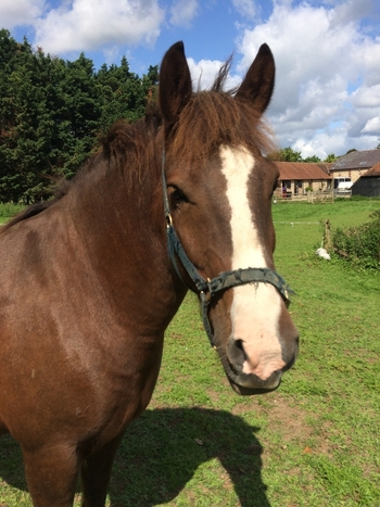 14.2hh Cob Gelding for Full Loan