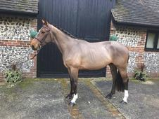 Oke Van Waerbeek - Beautiful 2014 Bay Stallion by Iron Man Van T ...