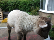 Shetland mini sheep