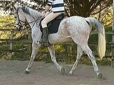 16. 2hh Grey Anglo Arab Gelding for Sale