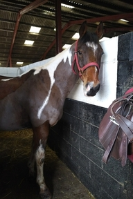 Loaner Wanted for Warmblood Gelding