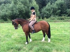 Stunning Welsh Section C Mare Bay 12 years old