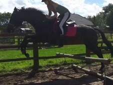 16hh mare with massive potential