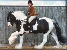 County standard Traditional Gypsy Cob gelding for sale