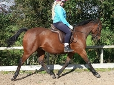 14 hh gelding bay show hunter
