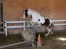 full blooded Clydesdale mare