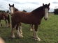 clydesdales for sale for sale