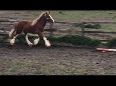 Very Attractive Home Bred Show Cob Gelding