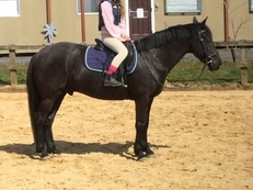 For Loan 14'2 TBx Gelding