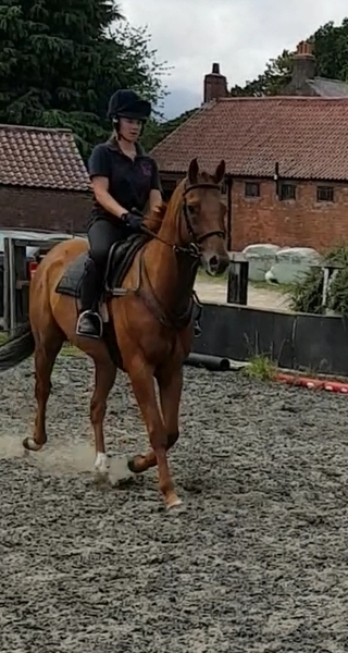 Chestnut gelding 16h 11yrs old SOLD