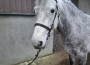 Super 148/14.2hh 6 years Reg Connemara