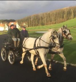 Pair of Lipizzaner driving or dressage horses