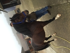 Welsh section C gelding