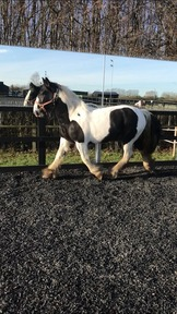 15.1 2 year old cob mare to make 16hh  chaps registered