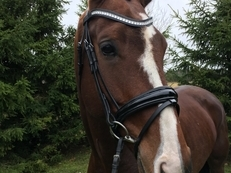 Handsome dressage gelding!