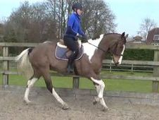 16hh Genuine & Uncomplicated All-rounder