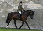 16.1hh Cappa Cochise Irish Draught Dressage horse 163 Dressage Ireland points