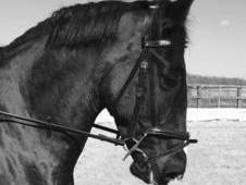 15. 2hh Black Cob – 8-Year-Old Mare