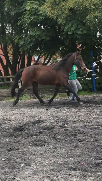 3 year old Connemara Gelding