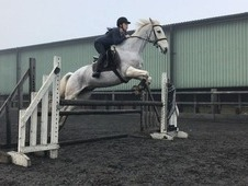 Talented warm blood mare for sale