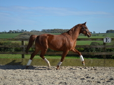 3 year old Oldenburg premium filly (Floriscount)