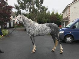 Absolute Lady.  Fabulous 8yr old 15.3hh Windgap Blue mare
