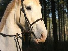 18.2hh Irish Hunting Horse