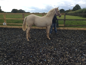 Part bred arab x Andalusia palomino yearling filly