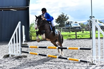 Handsome 14.2hh Bay Gelding