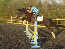 10 Yr Old Registered Section D Gelding