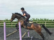 Eventing prospect approx 15hh Gorgeous Bay Mare