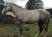 Fabulous 2yr old Full Irish Draught Gelding by Mountain Pearl