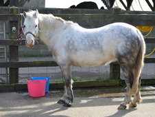 11. 2hh Welsh Section A, Grey