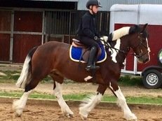 Hugo is a fabulous alround  gelding