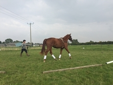 Chestnut Hanoverian Mare - Top Event Potential