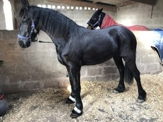 Stunning full pedigree Friesian mare for sale