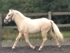 Absolutely stunning Connemara x palomino