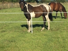 Stunning Coloured 2yo Event/Dressage Prospect