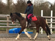 Stunning 15. 1HH Skewbald mare