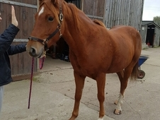 Irish sports horse chestnut gelding 5 years