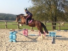 Beautiful Welsh section C pony club Mare for sale, West Sussex