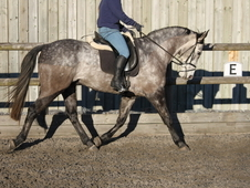 Eye-catching dapple grey sports horse