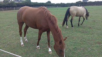 Three year old part bred Arab filly